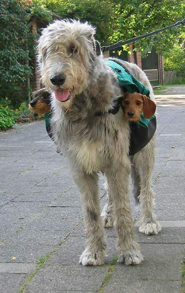Для баланса домашний питомец, животные, ирландский волкодав, размер, собака