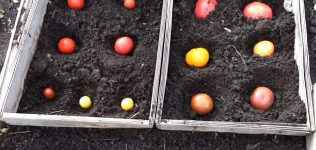 Ценный способ посадки томатов под зиму целыми помидорками.