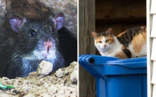 Жители города устали бороться с крысами. На помощь им пришли котики