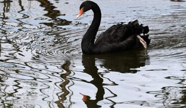 Птенцы черношейного лебедя появились на свет в Московском зоопарке