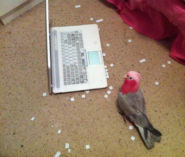Попугай, который разбирается в компьютерах. | Фото: Всяко.нет.