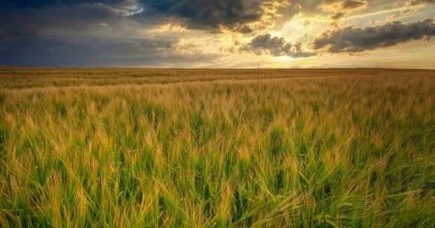 Agrarheute: Россия собирает огромный урожай пшеницы на фоне проблем у США и ЕС