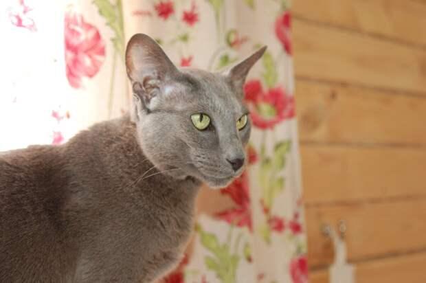 Меня зовут Кира, а иногда Кикимора. Хотя в родословной написано Акара.