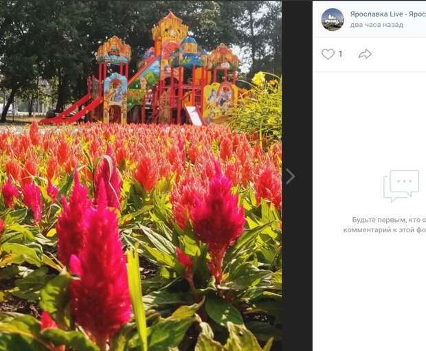 Фото дня: цветы целозии во дворах Ярославского