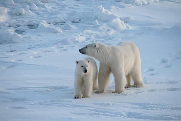 Оценена вероятность вымирания белых медведей в России