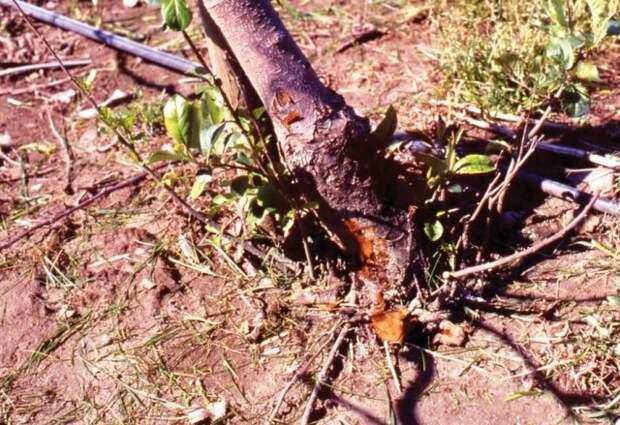 Зачем удалять корневую поросль