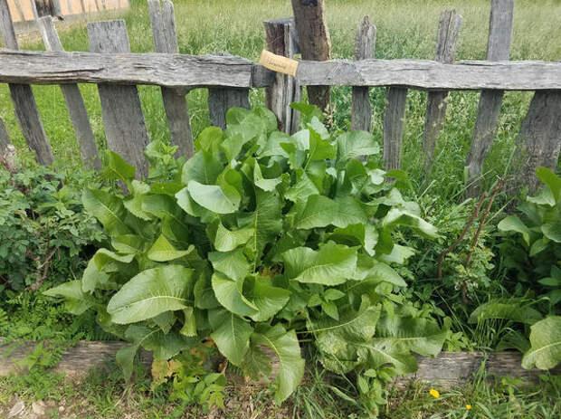 Хрен хоть и огородная культура, а растет как настоящий сорняк