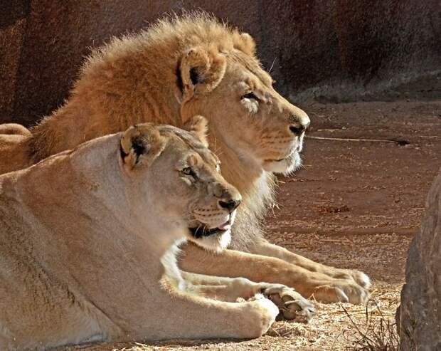 Пожилой паре львов, люди помогли уйти вместе в страну «вечной охоты»