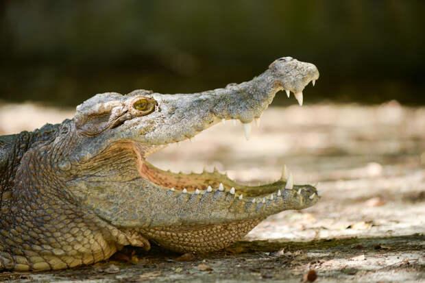 Россиянин продаёт крокодила Гену