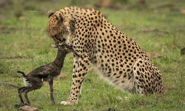 Поцелуй смерти: встреча новорожденной газели и гепарда