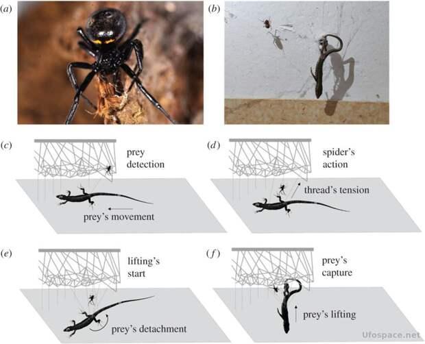 Пауки, добыча, наука, Биология, охота, пауки, хищники, членистоногие