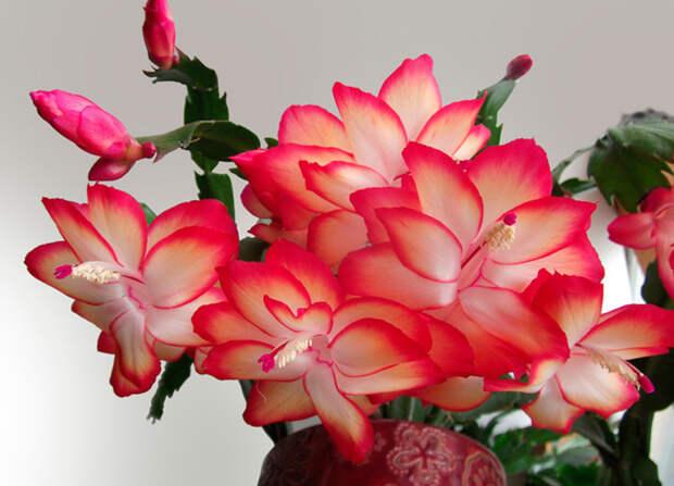 Почему не цветет декабрист? Декабристы, Шлюмбергера, Зигокактус, Цветок, Длиннопост