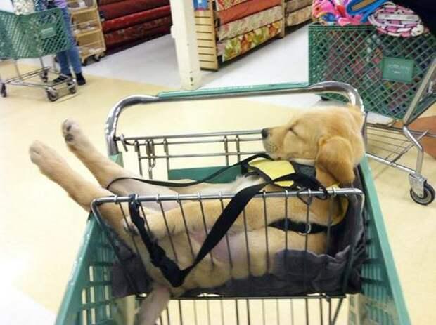 смешные собаки, спящие собаки, собаки уснувшие в странных местах