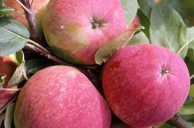 Секреты успеха. Правила посадки яблони и груши