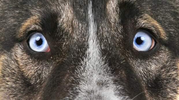 Лапу первым подает: норвежские псы предъявляют счет Руалю Амундсену