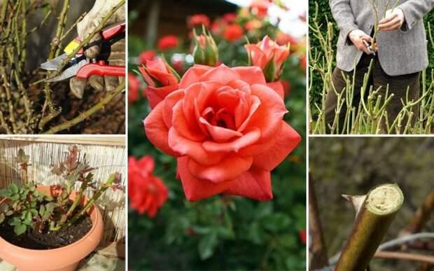 Регулярная обрезка роз – залог их пышного цветения и хорошего роста новых побегов. Однако очень важно проводить ее правильно. Иначе можно погубить растение. Мы расскажем, как этого не допустить.