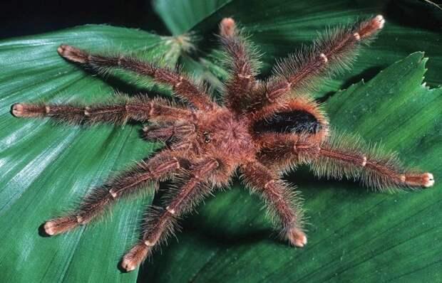 Вид паука птицееда Avicularia lynnae 2017 год, биология, животные, новые виды животных, открытые животные, природа, фауна, эндемики