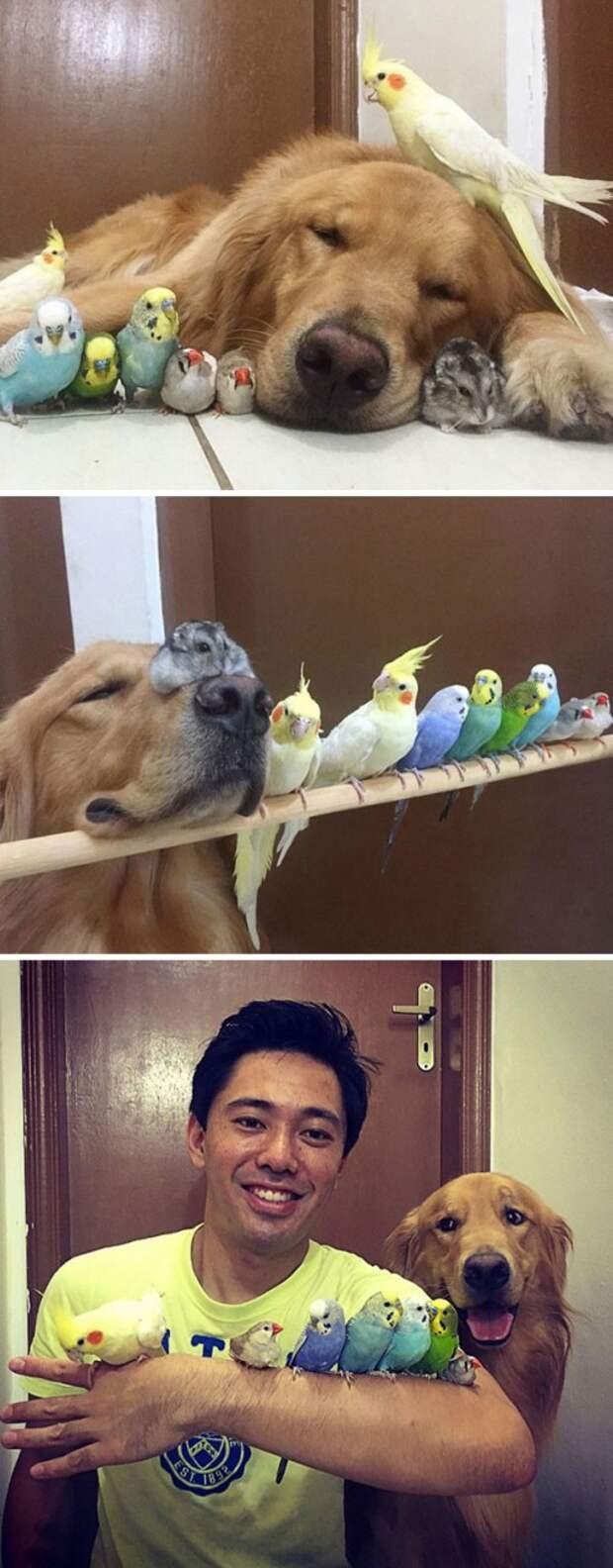 3. Золотистый ретривер по кличке Боб, 8 птиц и хомяк животные, жизнь, кот, питомец, семья, собака, фото