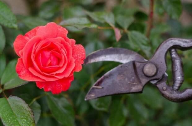 Профессиональные советы для обрезания роз в идеальном саду