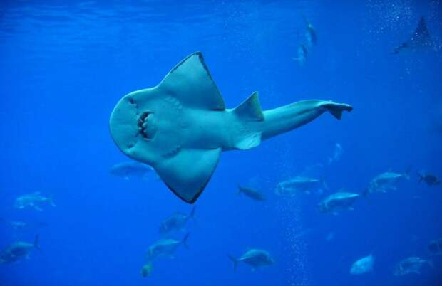 Рыба-халява: Смешное и доброе существо оказалось возможной переходной формой между акулой и скатом