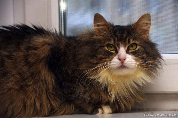Ищет своих родных людей роскошный мальчик - целиком и полностью положительный кот!