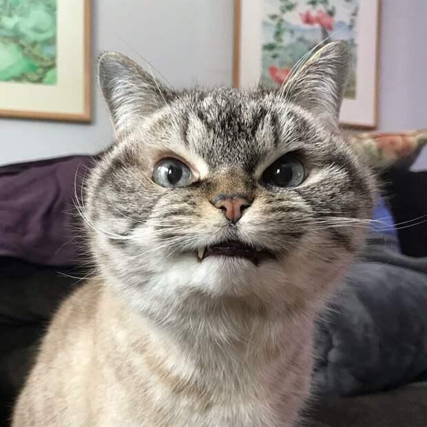 Локи (Loki) grumpy cat, животные, коты, кошка, кошки, мем, сердитая кошка, фото