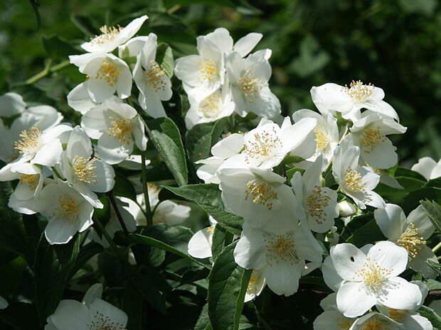 Жасмин устраняет депрессию аромат, здоровье, настроение, растения
