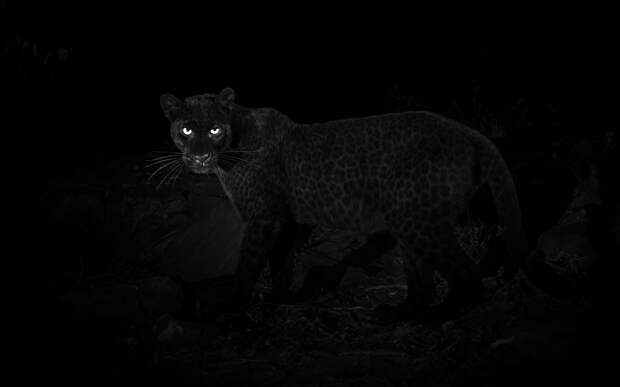 4 крутых фото редкого черного леопарда, которого последний раз видели в 1909 году