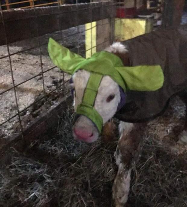 Фермер придумал уникальный способ защитить новорожденных телят от обморожения