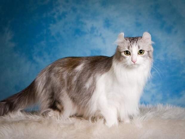 10 место. Американский кёрл. домашние животные, кошки, породы кошек, самые редкие