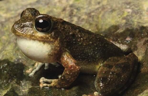 Buergeria otai 2017 год, биология, животные, новые виды животных, открытые животные, природа, фауна, эндемики