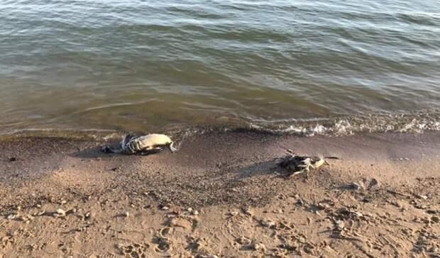 Массовый мор дикой птицы начался в Ростовской области