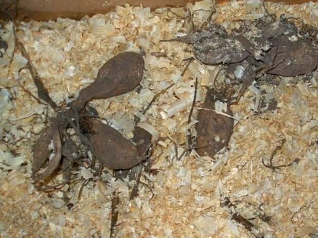 Хранение георгинов в опилках