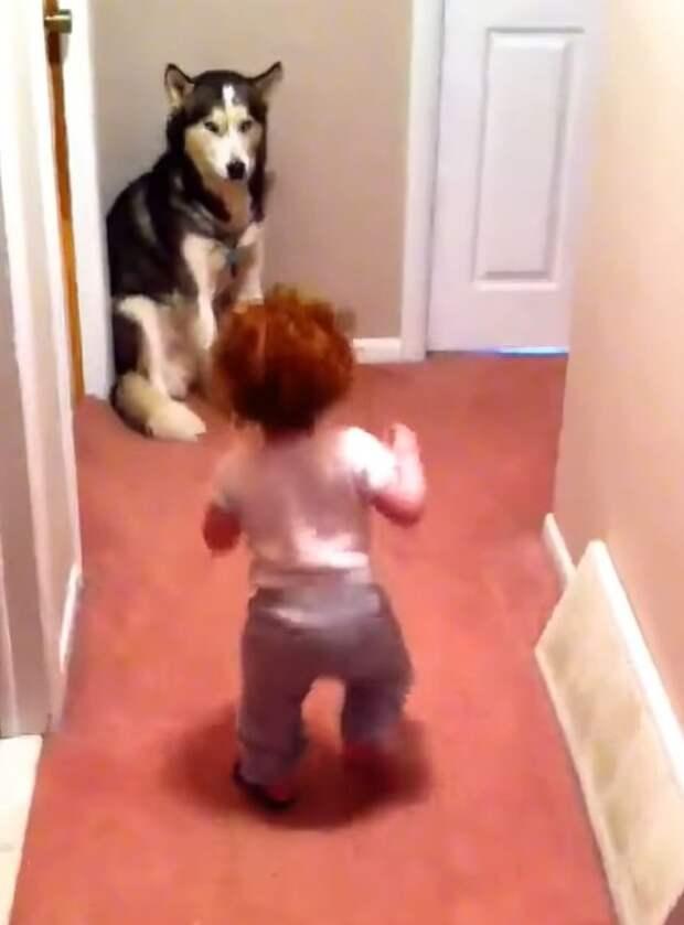 Напуганный ребенок начал бежать к собаке. Хаски вел себя настоящим героем