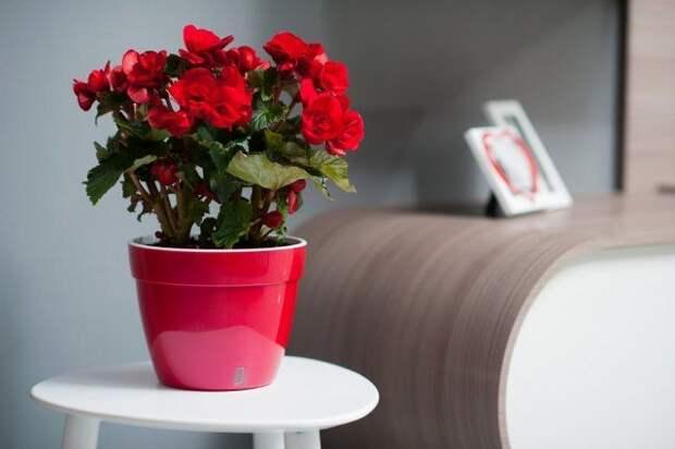 Бегония, цветок, комнатное растение