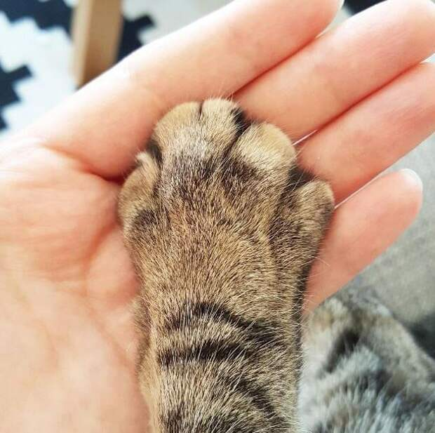 1. Пытаются подержать кошачью лапу домашний питомец, животные, кот, кошка, привычки, прикол, юмор