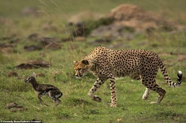 И только когда детеныш начинает убегать, самка гепарда осознает свою ошибку. Материнский инстинкт сменяется на инстинкт преследования и охоты на жертву