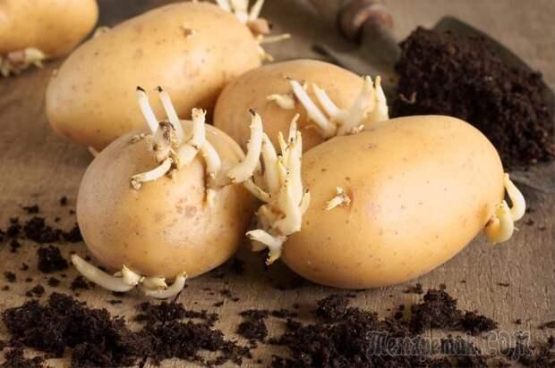 7 способов подготовки картофеля к посадке