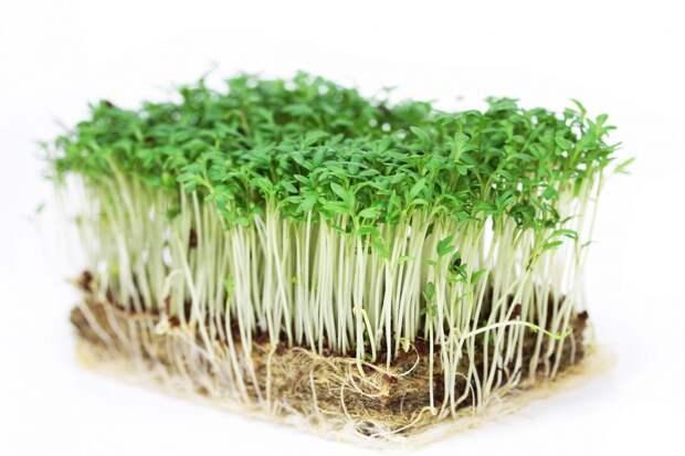 Не забываем посадить скороспелую зелень – кресс-салат
