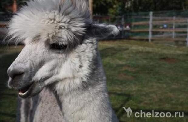 Челябинский зоопарк ищет парикмахера для альпака