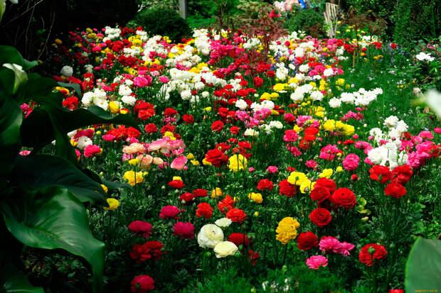 Многолетний садовый цветок Лютик (Ranunculus)
