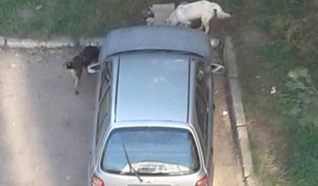 Омичей терроризирует стая озлобленных от голода собак