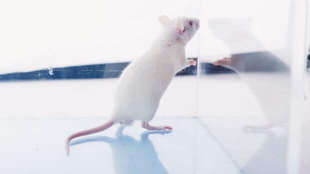 Вакцины от коронавируса будут тестировать на светящихся мышах