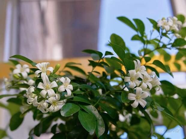 Растение японских императоров Муррайя, Ароматные, Цветущие, Неприхотливые, Длиннопост