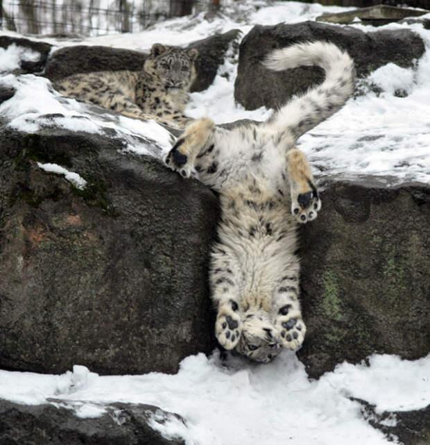 10 очаровательных снимков величественных снежных барсов
