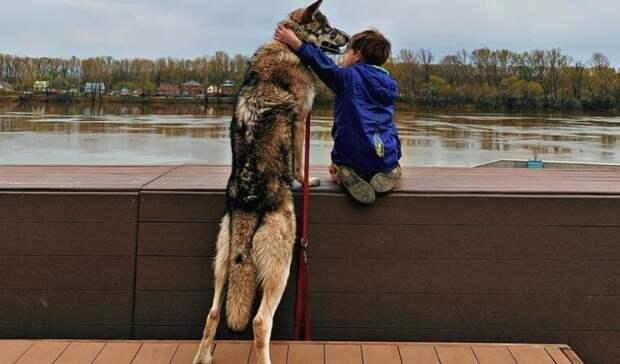 Семья не стая: уфимка рассказала, каково содержать и воспитывать волчицу в квартире