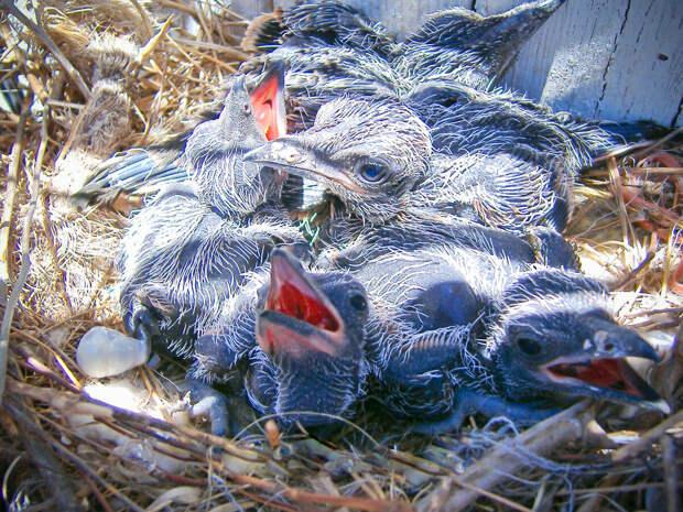 Как и все кукушки, дорожный бегун очень плодовитая птица — в гнезде помещается от 4 до 9 птенцов.