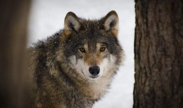 Волк в овечьей шкуре: 12 видов манипуляций, которые выглядят, будто человек желает вам добра, но на самом деле нет
