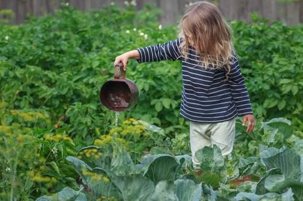 Картофель - хороший компаньон для белокочанной капусты: опыт выращивания
