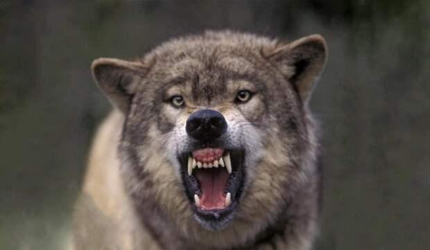 Знаменитые породы собак, которые могут одолеть волка
